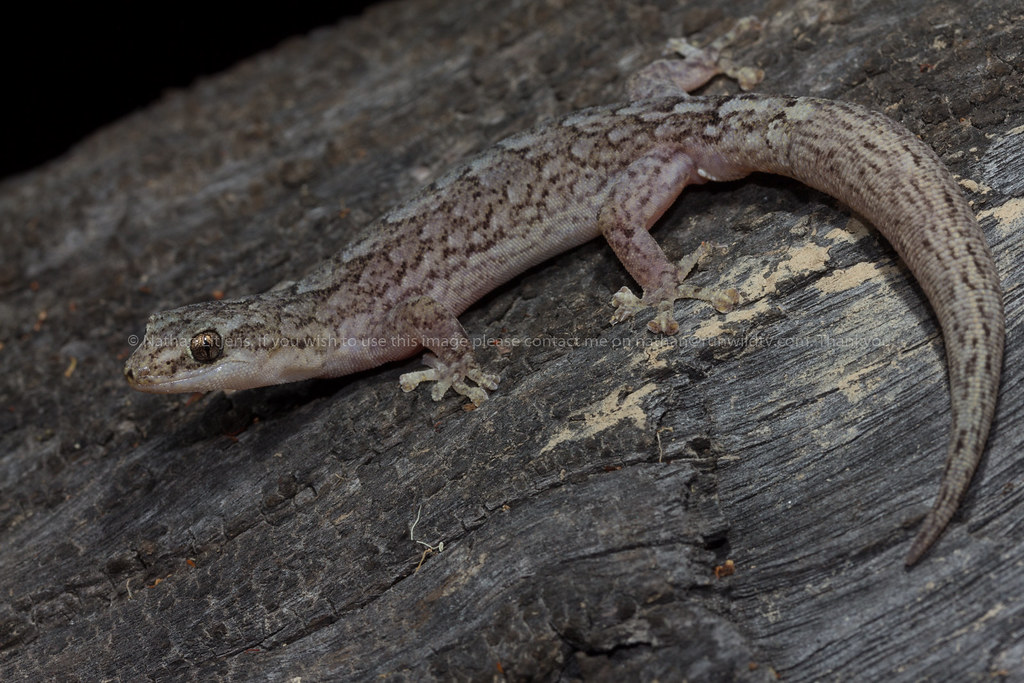 The World S Best Photos Of Gecko And Marbled Flickr Hive