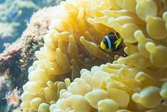 DSC_7137.jpg (d3_plus) Tags: sea sky fish beach japan scenery diving snorkeling 日本 shizuoka 海 空 j1 風景 izu anemonefish seaanemone 魚 景色 静岡 伊豆 skindiving クマノミ clarksanemonefish イソギンチャク minamiizu シュノーケリング 静岡県 素潜り 南伊豆 nikon1 hirizo 中木 ヒリゾ浜 nakagi nikon1j1 1nikkor185mmf18 スキンダイビング beachhirizo misakafishingport 三坂漁港 anemonefishyg clarksanemonefishyg クマノミyg