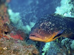 Merou XX (juredel) Tags: juredel merou corse ile cerbicales ilescerbicales diving scubadiving plonge red mditrane mediteranneansea olympus