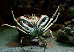 The Big Crab (mirko100976) Tags: crab sea granchio crostaceo crostacei