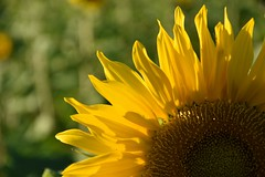 Sonnenblume (tanjaettl) Tags: sonnenblume bokeh gelb grn nikon d5500