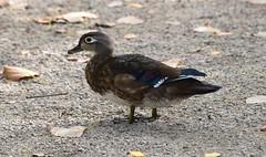 Female Wood Duck (careth@2012) Tags: duck wildlife nature woodduck feathers beak waterfowl femalewoodduck bird