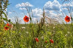 Blumenwiese mit wildem Mohn (Jutta M. Jenning) Tags: bluete blume blumen gelb knospe knospen natur flora wiesenblume wiesenblumen futterpflanze futterpflanzen aufgeblueht erblueht wildblumen kamille mohnblumen feldblumen wilder