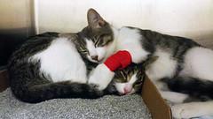 2015- Pam & Violet 03 (teresamarkos) Tags: violet pam cat cats kitten kittens felines feline