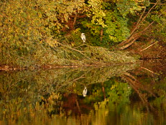 Heron reflecting on a days fishing (davidntaylor1968) Tags: nature tree reflection growth water nopeople beautyinnature tranquility scenics outdoors tranquilscene day grass backgrounds landscape birds countryside october photography autumn riverbank