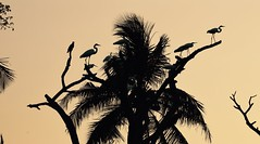 The Egret Tree (The Spirit of the World) Tags: egrets birds fowl wildlife nature silhouettes india southernindia kerala cochin kochi palm palmtree harbour shore branches fronds