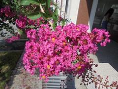 082 (en-ri) Tags: fiori flowers ramo sony sonysti rosa tree albero