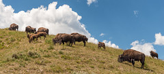 Where the Buffalo Roam - Explore (Ron Drew) Tags: nikon d800 bison americanbison buffalo yellowstonenationalpark haydenvalley hill clouds calf bull cow park national wildlife nationalpark