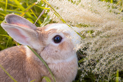 IMG_1686.jpg (ina070) Tags: animals canon6d cute grass outdoor outside pets rabbit rabbits