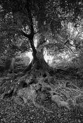Old Roots (Richard Paterson) Tags: roots trees autumn west susses tress backlit nature mono