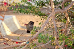 juvenile Anna's hummingbird (debreczeniemoke) Tags: usa unitedstates amerikaiegyesltllamok losangeles cityoflosangeles la losangelescounty california southerncalifornia griffithobservatory losangelesgriffithpark madr bird fiatal juvenile annashummingbird annakolibri calypteanna kolibriflk trochilidae nvny plant virg flower californiafuchsia keskenylevelcaliforniafukszia deresfukszia kolibritrombita epilobiumcanum ligetszpeflk mirtuszvirgak myrtales olympusem5