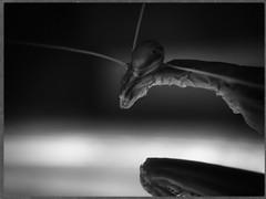 Mantis-BW  43/52 (Firery Broome) Tags: insect prayingmantis mantis bug eye neck legs profile head antenna dramatic sidelight window glassbrick prickly dark lookingatyou creepy beautiful cellphone phonephoto iphone iphone5s externallens macro closeup dof bokeh ipad ipaddarkroom apps snapseed alienskin exposurex2 blackandwhite blackwhite bw monochrome monochromebokehthursday blackandwhitenature nature naturelovers newark delaware universityofdelaware delawarenature 52weeks 52weeksofphotography 52 project52 image4352 365 arthropoda