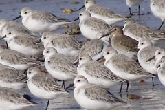 Dare to be different -Dunlin (nancyvillone) Tags: dunlin cape cod ma