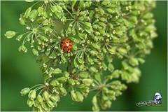 "Coccinelle ""2016"" (Christian Labeaune) Tags: christianlabeaune chtillonnais jardin 2016 insectes chatillonsurseine21400 bourgognectedor france coccinelle"