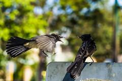 It's mine ! (Jack o' Lantern) Tags: birds bird willie wagtail western australia