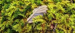 Lost in the trees ( again) (pauldunn52) Tags: moss green woodland floor oak leaf autumn colours brecon beacons wales