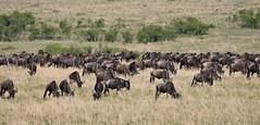 Wildebeest Migration grazing in the Masai Mara - Slowly migrating southwards. (One more shot Rog) Tags: wildebeests mass graaslandsgame drives gnugnuswildebeestsafarimigrationwildebeestmigration masaimara marariver herds herd wildlife savannah crossing wildbeest