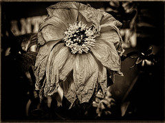 From Dixon, IL over two years ago. (palos_quest) Tags: dying flower sepia tone