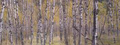 Ash Trees Panoramic (Lake Vermilion1) Tags: borderfx blackhills ashtrees southdakota nikon nikond810 reallyrightstuff gitzo lakevermilionphotos panoramic tree outdoor forest landscape