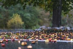 Ammunition (dlorenz69) Tags: tree baum kastanien kastanienbaum chestnut herbst autumn fall fruits wet rainy nass hessen taunus dof