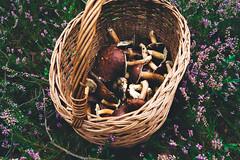 (m.majphoto) Tags: musgrooming mushroom mushrooms shrooms heather heathers forest woods fall autumn