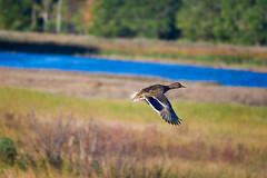 In flight (Black Hound) Tags: sony a500 minolta ducks mallard bombayhooknwr