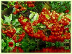 Autumn berries (kontinova2) Tags: colors berries autumn macromondays