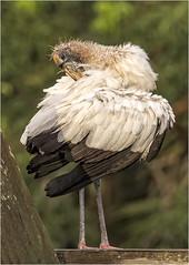 Woodstork ( Juvy ) (billkominsky ) Tags: naturethroughthelens