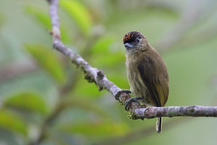 Olivaceous Piculet (Greg Lavaty Photography) Tags: olivaceouspiculet picumnusolivaceus costarica october bird nature wildlife woodpecker male