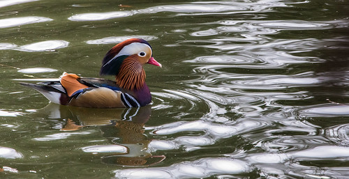 Mandarin Duck at Gresford pond, north Wales