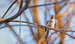 Got Any Bird Seed? (Wes Iversen) Tags: baeolophusbicolor brighton kensingtonmetropark michigan milford nikkor50mmf18 tuftedtitmouse birds bokeh branches nature trees
