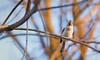 Got Any Bird Seed? (Wes Iversen) Tags: baeolophusbicolor brighton kensingtonmetropark michigan milford nikkor50mmf18 tuftedtitmouse birds bokeh branches nature trees
