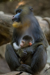 Baby Mandrill Hitches a Ride (San Diego Zoo Global) Tags: baby babyanimals primate mandrill cute sandiegozoo animals nature family mandrills babyanimal babymandrill conservation wildlife primates