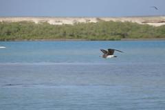 Steppenmöwe (Ina Hain) Tags: animal tier wasservögel steppe blau blue water flug wasser sky himmel outdoor fz1000 panasonic afrika ägypten mangroven redsea rotesmeer bird vögel vogel möwe steppenmöwe