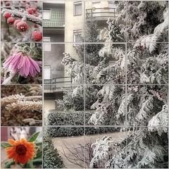 Early Winter Days (Tölgyesi Kata) Tags: winter mozaik mosaic hoarfrost zúzmara körömvirág calendulaofficinalis krizantém chrysanthemum margitvirág mum chrysanth flower madárbirs cotoneaster redberry tuja ősz tél