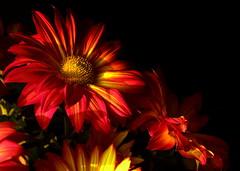 Pele chrysanthemum (4) in late afternoon light (goldengirl 2011) Tags: chrysanthemum pelemum pelechrysanthemum indoor petal yellow katharinehanna chrysanthemummacro macrochrysanthemum flowermacro ©katharinehanna2016 pele goddesspele bright flower plant lateafternoonlight lowlight macro red orange warmcolors darkbackground blackbackground