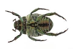 マメコガネ Popillia japonica Newmann, 1844-1-1 (seabassando) Tags: コウチュウ目 coleoptera カブトムシ亜目 polyphaga コガネムシ上科 scarabaeoidea コガネムシ科 scarabaeidae スジコガネ亜科 rutelinae anomalinipopilliina