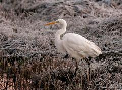 Great White Egret (Crazybittern1) Tags: rspb leightonmoss greatwhiteegret nikond7100 nikon200500