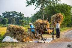 Wrapping up (Satyajeet Sahu) Tags: chhattisgarh farmers fields paddy village people culture crops bullockcart canonphotography canon