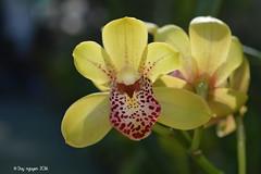 Cymbidium (Valerie Absolonova x Pacific Sparkle) 'Ori Gem' (Dylan's Orchids) Tags: cymbidium valerie absolonova pacific sparkle ori gem