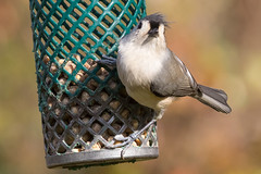 Tufted Titmouse with that Wind-Blown Look (Scott Alan McClurg) Tags: animal autumn bird bokeh eat fall feed feeder forest life lunch nature naturephotography perch perching smallbirds songbird suburbs suet titmouse tree tufted tuftedtitmouse wild wildlife woods yard