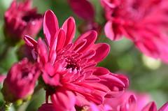 Autumn colorfull flowers (dfromonteil) Tags: flower fleur macro bokeh pink rose vert green lumire light sunlight soleil nature plant plante vegetal wow