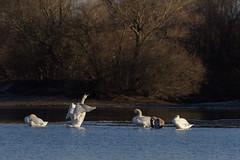 Group of swans (Mighty Badaboom) Tags: bird vogel animal tier outdoor wildlife winter beautiful germany canon swan schwan see lake