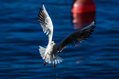 Incoming! (Rico the noob) Tags: dof bokeh nature d500 birds 70200mmf4 2016 animal published zurich seagull lake schweiz closeup bird water 70200mm animals eye flying switzerland outdoor