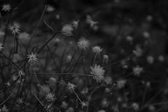 celeste (edwardpalmquist) Tags: lasvegas henderson nevada blackandwhite monochrome plant nature outdoors bokeh desert