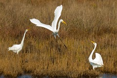 7K8A3916 (rpealit) Tags: scenery wildlife nature chincoteaque national refuge great egrets bird egret