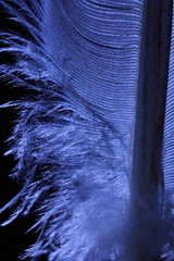 Fibers of Feather (Thalib) Tags: backlit pigeonfeather feather light canon100mmf28lis canon7dii tungstenlight tungsten