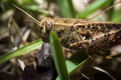 grasshopper (Heralth) Tags: saltamones negro black contraste contrast wild life vida salvaje macro macrofotografia naturaleza nature light luz closeup aumento macrophotography invertebrado invertebrate invertido 50mm profundidaddecampo textura macrofotografa grasshopper
