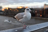 Seagull (phrada_kendi) Tags: seagull bird london uk birds building bokeh bigcitylife nikon nofilter nature nikkor14 nikkor50mm14 nikkor d750 nikond750 bridge millenium river thames city sky