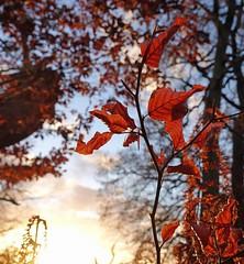 366 - Image 338 - Autumn colours... (Gary Neville) Tags: 365 365images 366 366images photoaday 2016 sonycybershotrx100 sonycybershotrx100v rx100 rx100v v mk5 garyneville